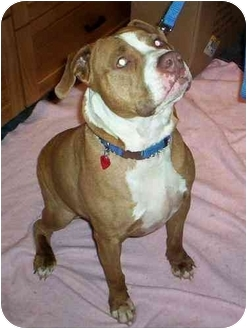 American Bulldog/American Staffordshire Terrier Mix Dog for adoption in Peoria, Illinois - Jack