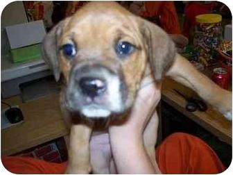 Boxer Mix Puppy for adoption in Naperville, Illinois - Carrington