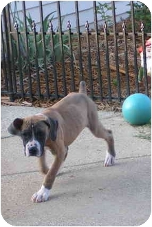 Boxer Puppy for adoption in Owensboro, Kentucky - Taylor