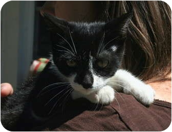 Domestic Shorthair Kitten for adoption in Salamanca, New York - Trixie