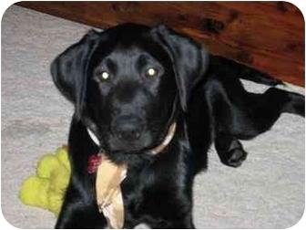 Labrador Retriever/Labrador Retriever Mix Puppy for adoption in Houston, Texas - Brazos