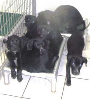 Labrador Retriever Mix Puppy for adoption in Coudersport, Pennsylvania - LAB PUPPY