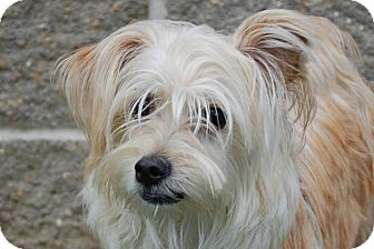 Yorkie, Yorkshire Terrier/Shih Tzu Mix Dog for adoption in Lexington, Kentucky - Molly
