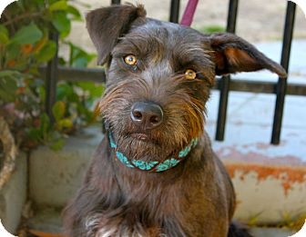 Schnauzer (Standard) Mix Puppy for adoption in Los Angeles, California - Betsy