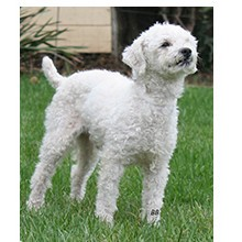 Poodle (Miniature) Mix Dog for adoption in Santa Barbara, California - Toby