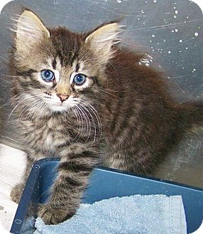 Domestic Mediumhair Kitten for adoption in Toledo, Ohio - Shirley
