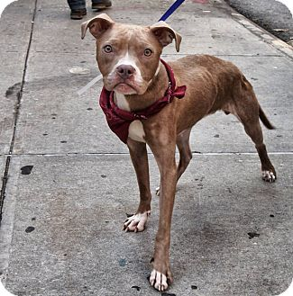 American Pit Bull Terrier Mix Dog for adoption in New York, New York - Vada