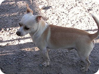 Chihuahua Mix Dog for adoption in polson, Montana - Newt
