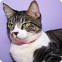 Domestic Shorthair Cat for adoption in Dallas, Texas - DANIELLE