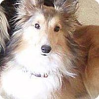 Adopt A Pet :: Peysyn - apache junction, AZ