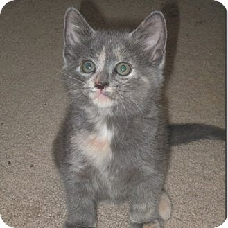 Domestic Shorthair Kitten for adoption in Columbia, Illinois - Bella