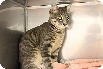 Domestic Mediumhair Cat for adoption in Medfield, Massachusetts - Scout