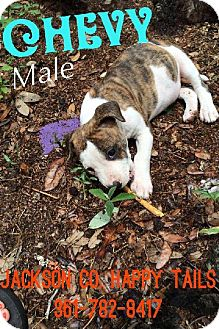 Pit Bull Terrier Mix Puppy for adoption in Olympia, Washington - Chevy