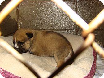 Shepherd (Unknown Type) Mix Puppy for adoption in Henderson, North Carolina - Puck
