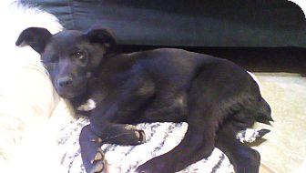 Labrador Retriever Mix Puppy for adoption in Phoenix, Arizona - Luke