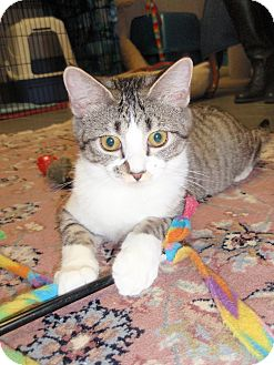 Domestic Mediumhair Cat for adoption in Cannon Falls, Minnesota - Pippin