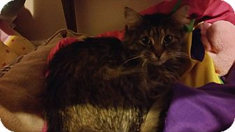 Domestic Mediumhair Cat for adoption in Warren, Michigan - Daphne