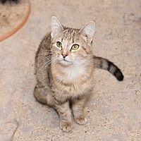 Domestic Shorthair Cat for adoption in Chicago, Illinois - Ciema