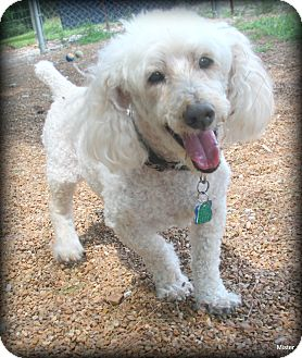 Poodle (Miniature) Dog for adoption in O Fallon, Illinois - Buddy