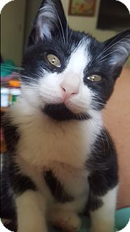 Domestic Shorthair Kitten for adoption in Marietta, Georgia - Biscuit Kitty