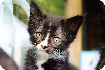 Domestic Longhair Kitten for adoption in Manhattan, Kansas - Drew