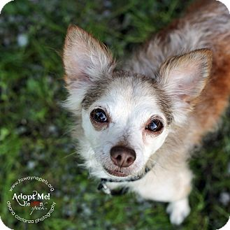 Chihuahua Mix Dog for adoption in Lyons, New York - Joey