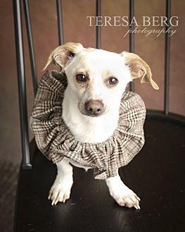 Dachshund Mix Dog for adoption in McKinney, Texas - Nelson