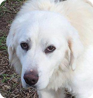 Great Pyrenees Dog for adoption in Granite Bay, California - LUNA