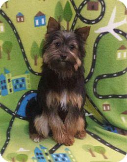 Yorkie, Yorkshire Terrier/Pomeranian Mix Dog for adoption in Akron, Ohio - Mozzarella