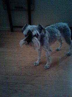 Schnauzer (Miniature) Dog for adoption in Santa Clarita, California - Sady