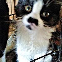 Domestic Shorthair Kitten for adoption in Norristown, Pennsylvania - Gwen