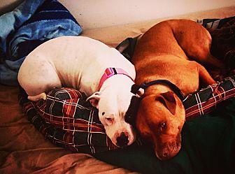 American Pit Bull Terrier/American Pit Bull Terrier Mix Dog for adoption in Colorado Springs, Colorado - Loki