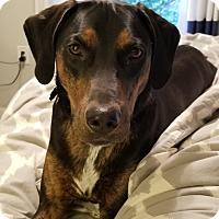 Adopt A Pet :: Biggie - Sterling, VA