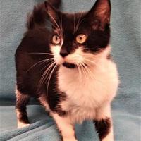 Adopt A Pet :: Basil - Gainesville, TX