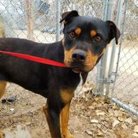 Adopt A Pet :: Holly - Rio Rancho, NM