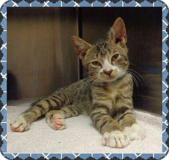 Domestic Shorthair Kitten for adoption in Marietta, Georgia - BENSON-available 7/28