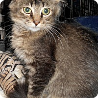 Maine Coon Kitten for adoption in Chattanooga, Tennessee - Gremlin