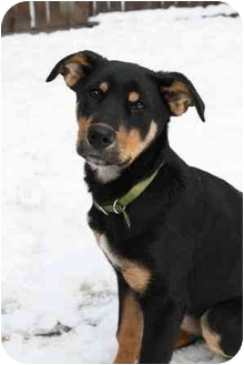Rottweiler Mix Puppy for adoption in Okotoks, Alberta - Ginger Spice