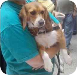 Beagle Dog for adoption in Yardley, Pennsylvania - Charms