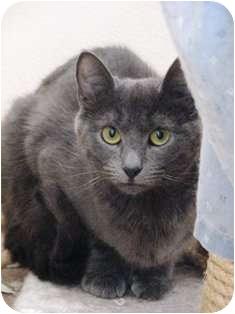 Domestic Shorthair Cat for adoption in Norwalk, Connecticut - Pauline