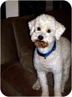 Poodle (Miniature) Dog for adoption in Melbourne, Florida - DUKE