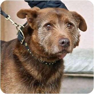 German Wirehaired Pointer Mix Dog for adoption in Berkeley, California - Patrick