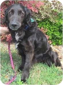 Flat-Coated Retriever Mix Dog for adoption in Schertz, Texas - Butters