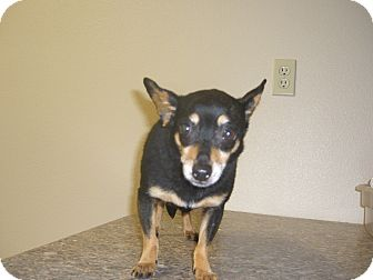Chihuahua Mix Dog for adoption in Kelseyville, California - Adan