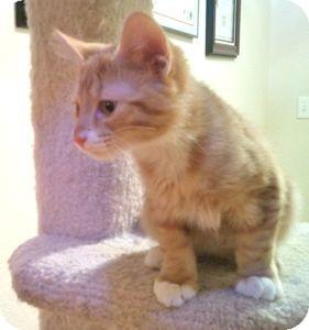 Domestic Shorthair Kitten for adoption in Colorado Springs, Colorado - K-Stephanie1-Stephen