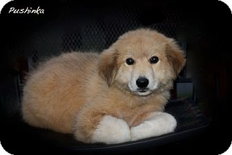 Great Pyrenees/Golden Retriever Mix Puppy for adoption in Wilmington, Delaware - Pushinka