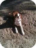 Bull Terrier Mix Dog for adoption in Alliance, Nebraska - bully boy