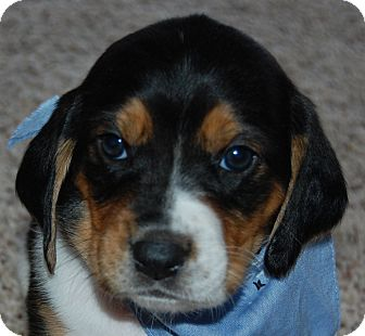 Basset Hound Mix Puppy for adoption in Hot Springs, Arkansas - Maggie Mae