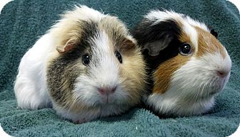 Guinea Pig for adoption in Lewisville, Texas - Fritz and Jessie J