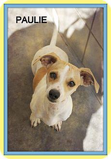 Dachshund Mix Dog for adoption in Corpus Christi, Texas - Paulie
